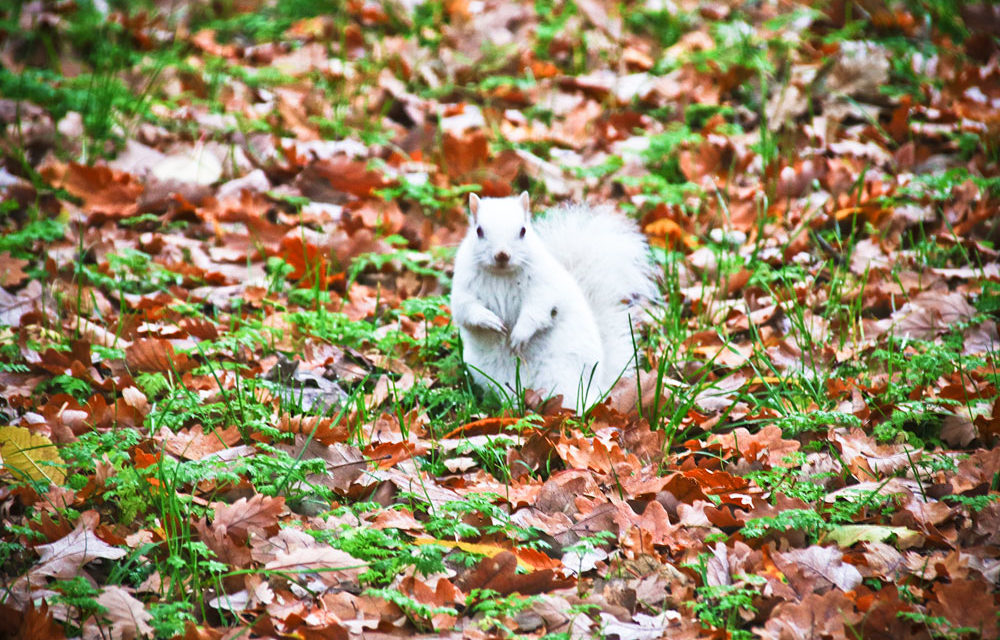 WHITE SQUIRREL CATCHES LOCAL SNAPPER KELLY'S EYE